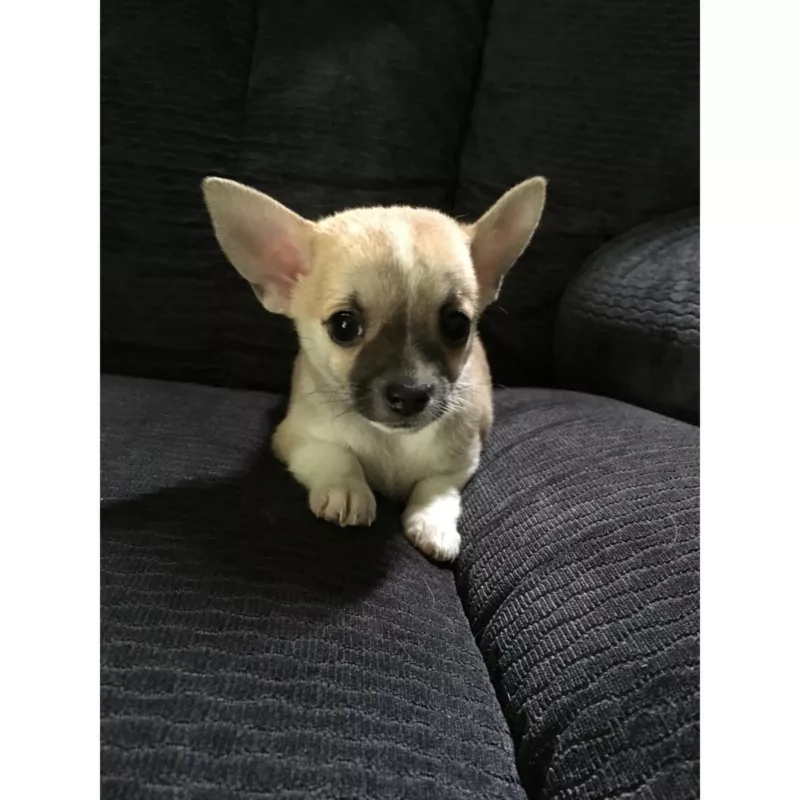 Chihuahua Puppies 3 Male And 1 Female Dogs Puppies Gumtree Australia Logan Area Eagleby 1239445976 In 2020 Chihuahua Puppies Puppies Dogs And Puppies