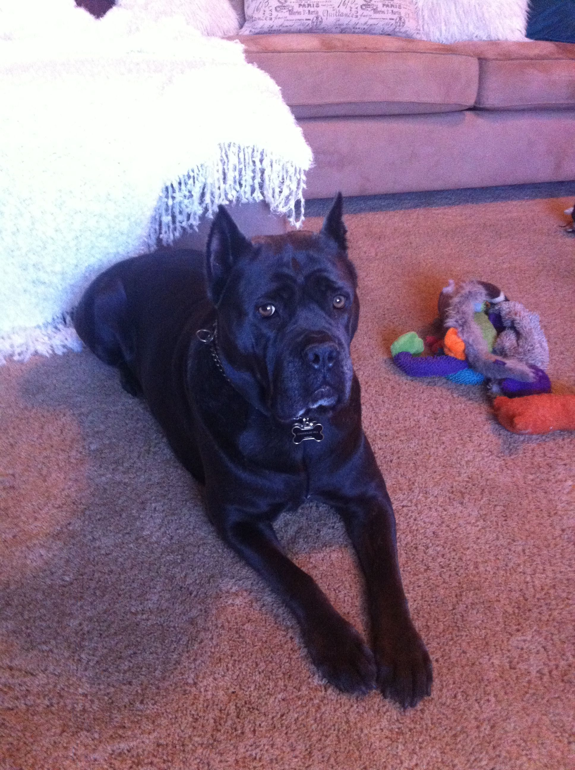 Jersey Cane Corso Cane Corso Lap Dogs Family Protection Dogs