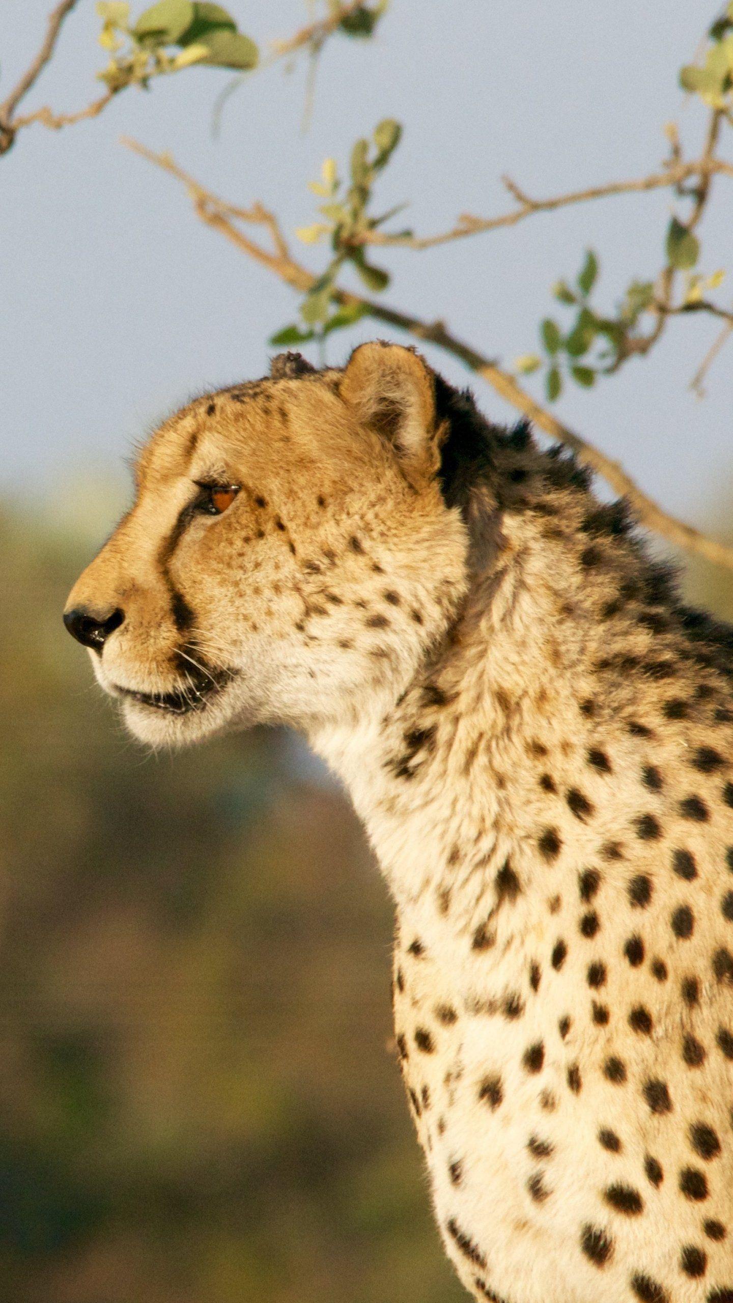 Cheetah Wallpaper Iphone Android Desktop Backgrounds Cheetah Wallpaper Animal Wallpaper Wildlife Wallpaper