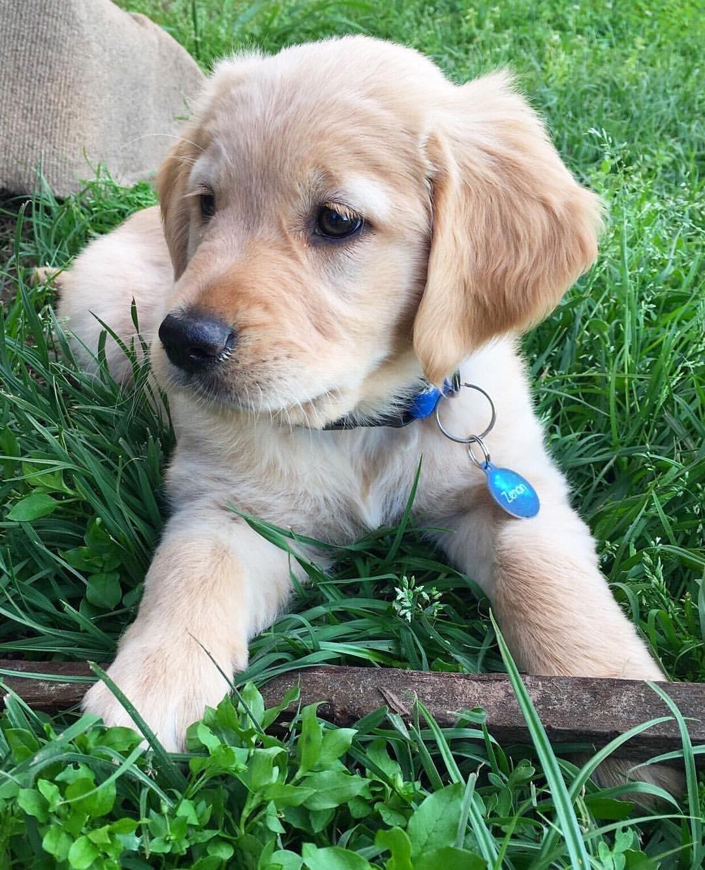 Zenon The Golden Retriever Puppy Dogs Golden Retriever Labrador