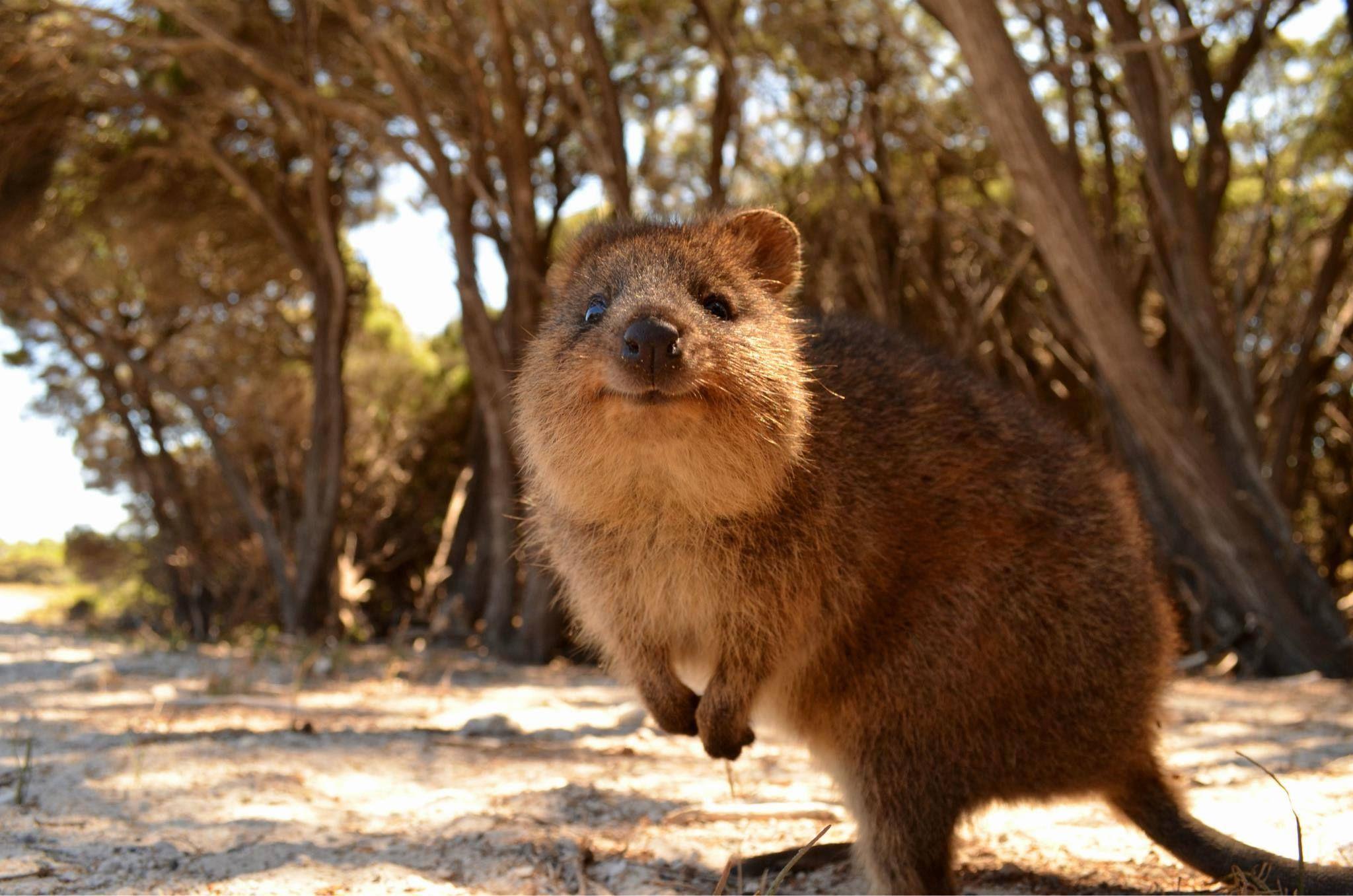 Quokka Quoakka Australia Cute Cute Australian Animals - 15 photos that prove quokkas are the happiest animals in the world
