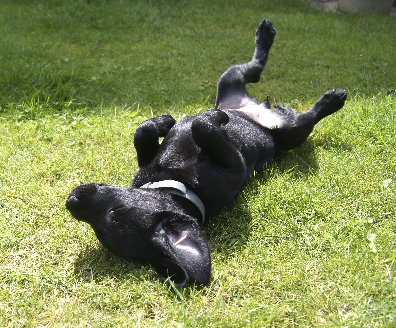 Chilling black labrador retriever lab puppies black