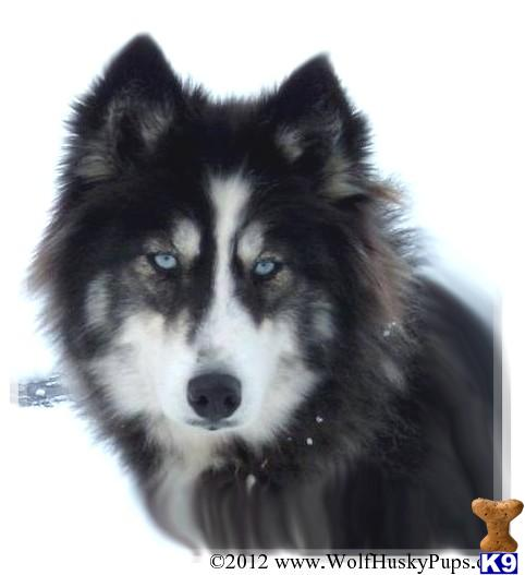 """""""Husky wolf"""" although phenotyping is usually used when the parents are unknown, sometimes it's completely obvious, like in the above picture, this is no wolfdog!"""