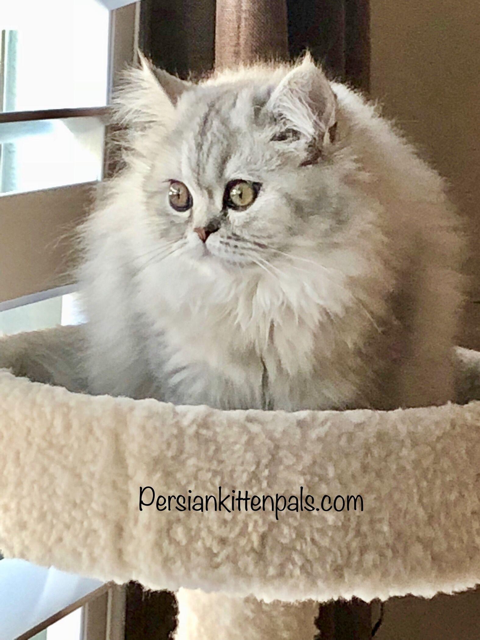 Beautiful Willow! Silver Persian