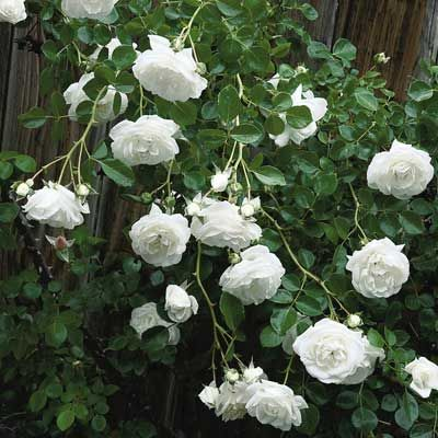 Rose Climbing White American Beauty Item 6867 An All Time Favorite The Is Abundant Bloomer And Produces A Gorgeous