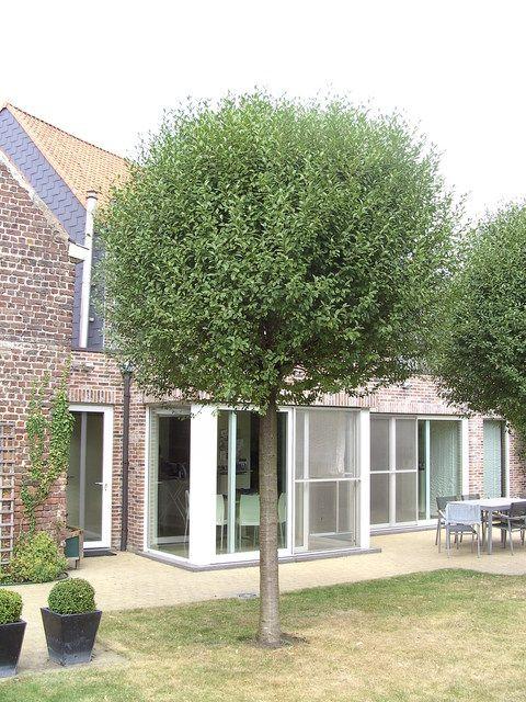 prunus fruticosa 39 globosa 39 of eminens 39 umbraculifera 39 mar chal tuinidee n pinterest. Black Bedroom Furniture Sets. Home Design Ideas