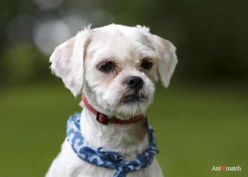 Chimo A Male Shih Tzu Available For Adoption From Animatch Except