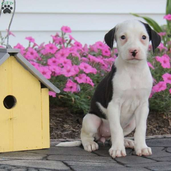 Bailey American Bulldog Mix Puppy For Sale In Pennsylvania