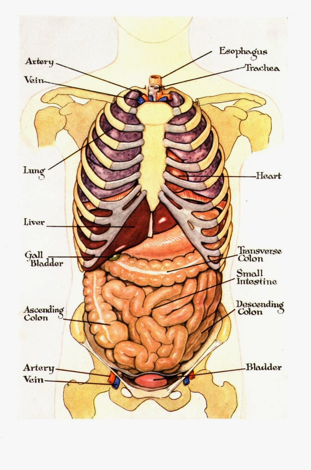 Does ox bile help you lose weight