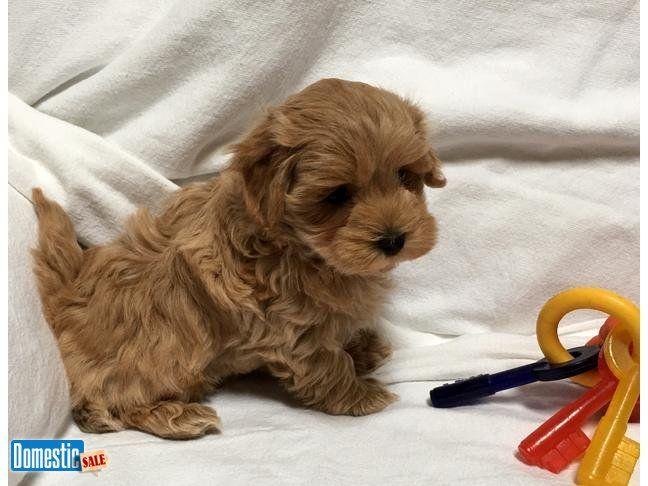 Cleveland, Minnesota, United States Puppies, Havanese