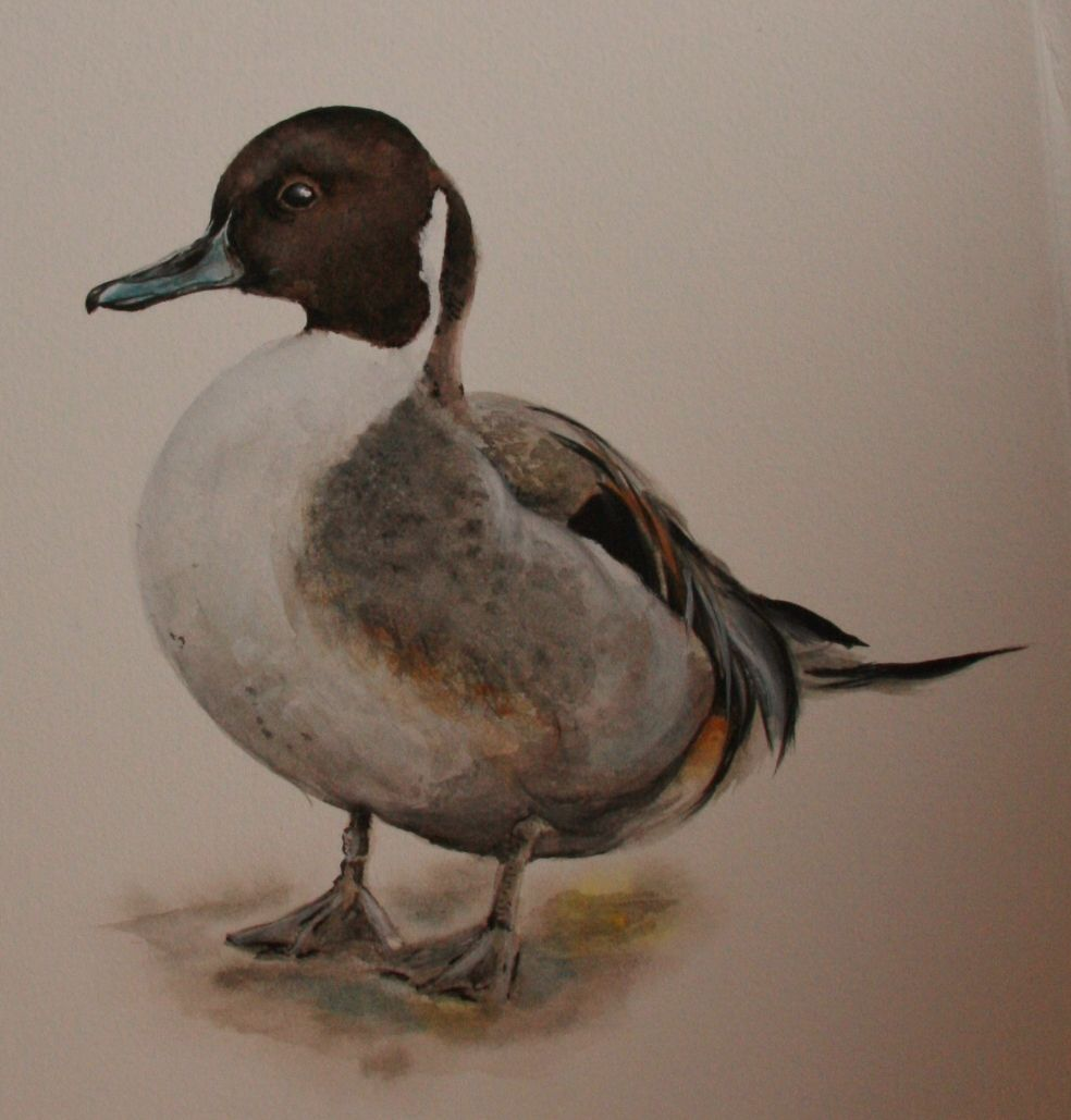 Pintail from Slimbridge