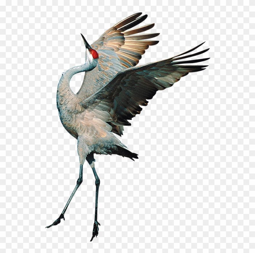 Download Hd Sandhill Crane Clipart Transparent Transparent Background Crane Bird Png And Use The Free Clipart For Your Crea Crane Bird Clip Art Bird Drawings