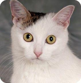 Chicago, IL Turkish Van. Meet Eve a Cat for Adoption
