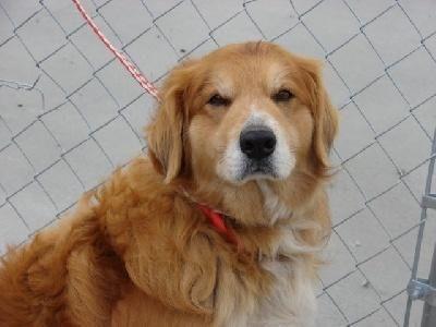 Adopt Jesse Urgent On Dogs Golden Retriever Retriever Dog