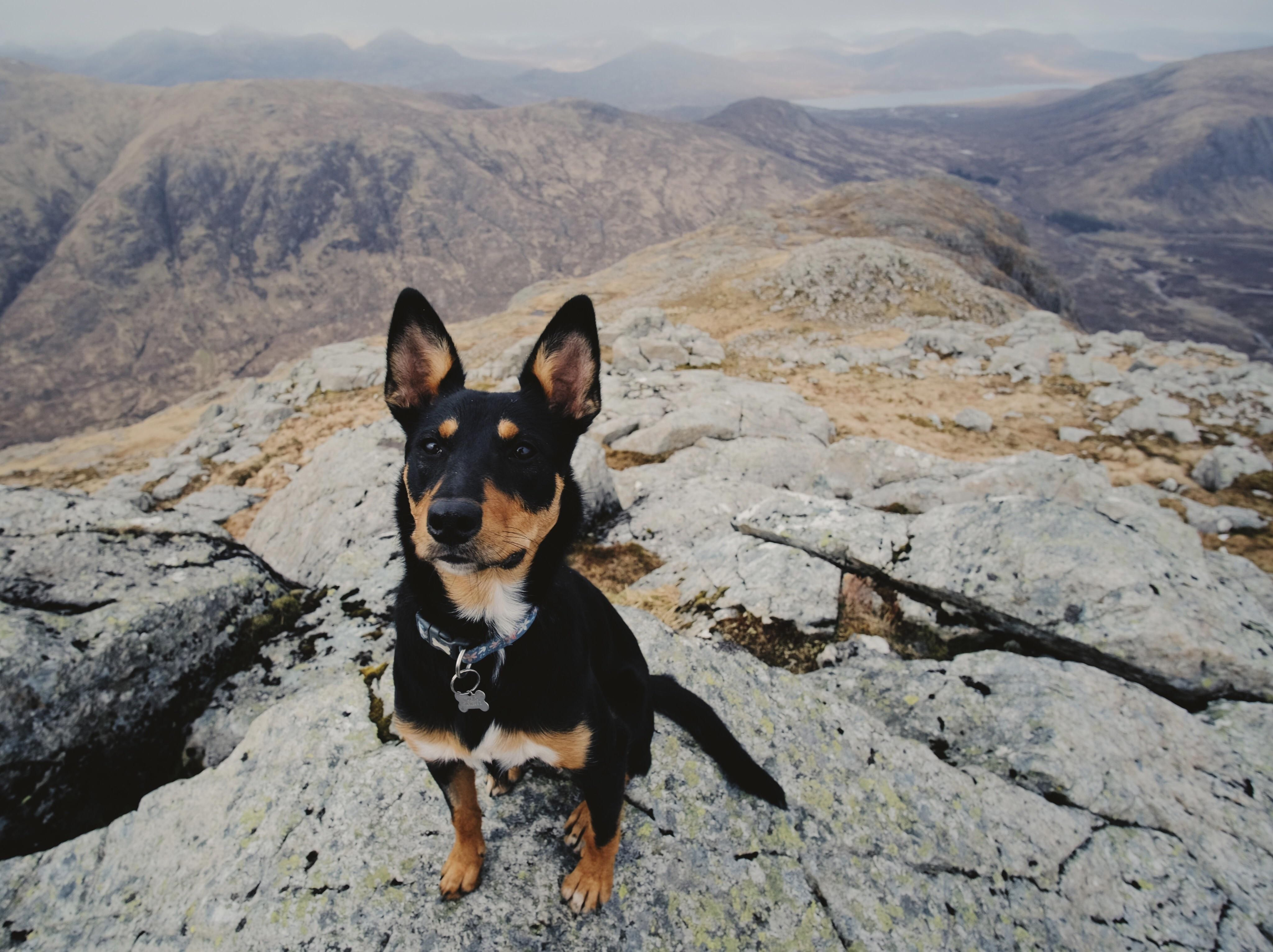 Josie the Kelpie Collie cross up her first Munro i