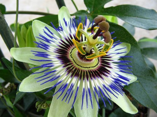 passiflora caerulea plante grimpante vivace originaire d. Black Bedroom Furniture Sets. Home Design Ideas