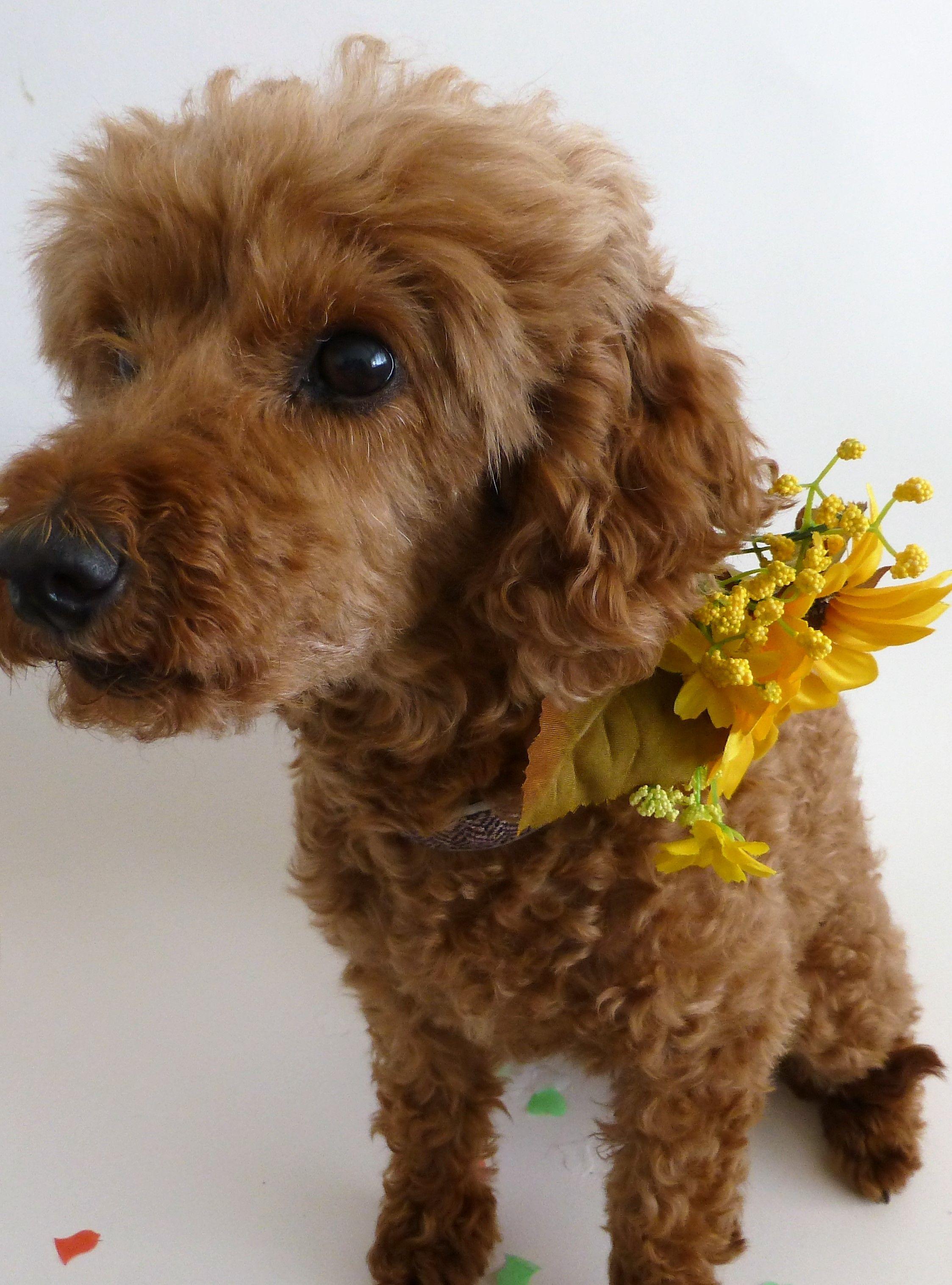 Parti poodle puppies for sale uk