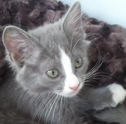 Moxie Is An Adopted Domestic Medium Hair Gray And White Cat In Eugene Or Moxie Is A Happy Outgoing Little Medium Haired Gra Grey And White Cat Kitten Cats