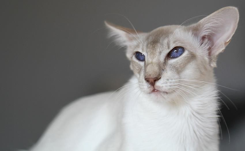 Pin On Balinese Cats