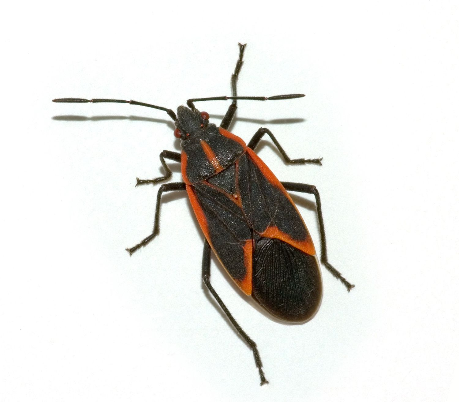 Water Bugs That Look Like Roaches Pest Control Insect Pest Fleas