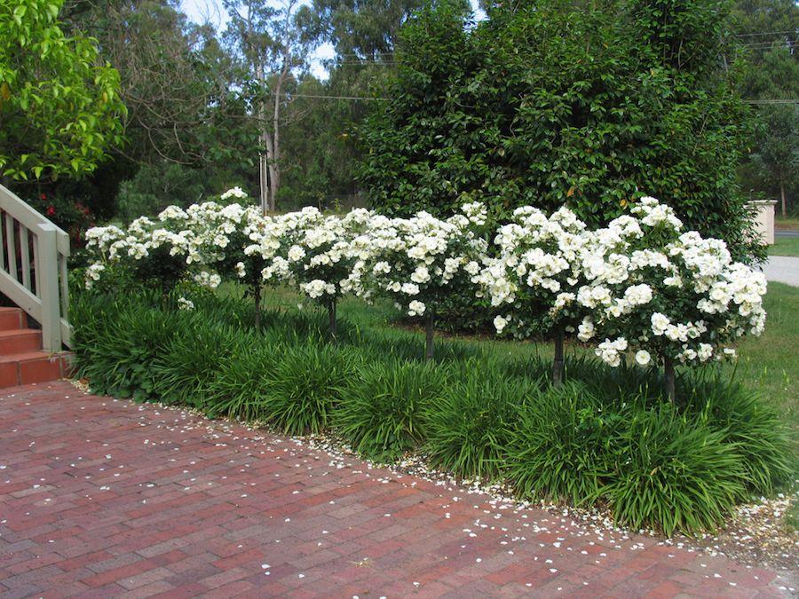 Flower carpet white roses planted as standards underplanted with flower carpet white roses planted as standards underplanted with agapanthus mightylinksfo