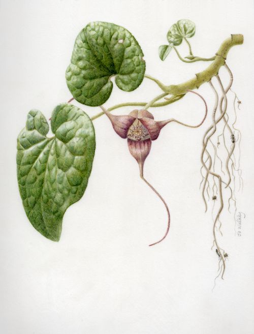 A Portrait Of Asarum Wild Ginger Plant Botanical Drawings Botanical Watercolor