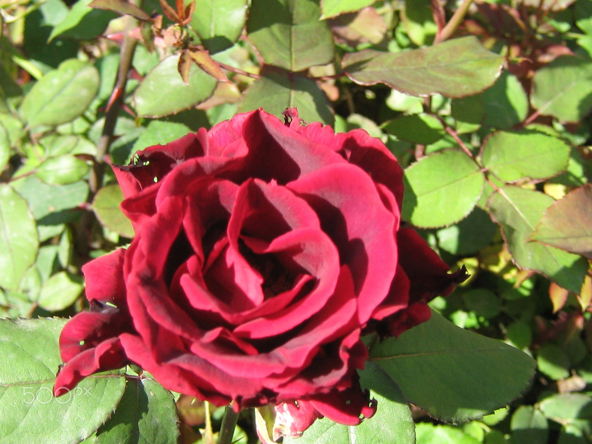 The red rose - The red rose