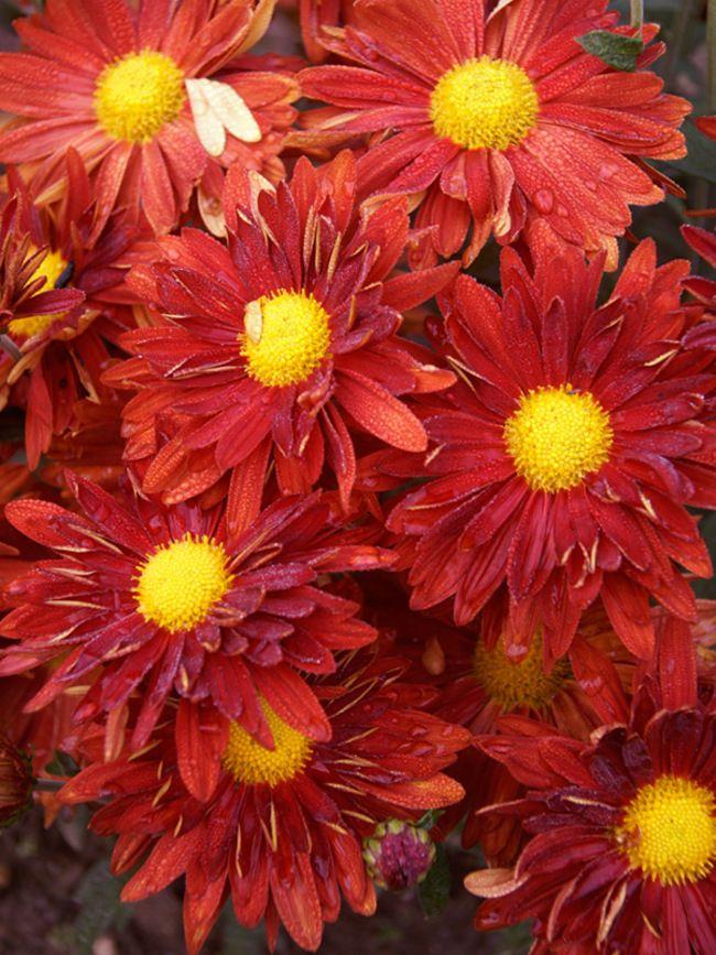 Mum Daisy Red Bluestone Perennials Chrysanthemum Plant Daisy Flower Drawing Flowers