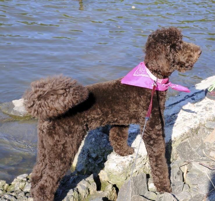 Pin On Labradoodle Grooming Ideas