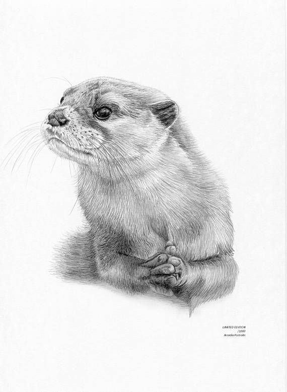 Otter limited edition art drawing print signed by uk artist two sizes available pinterest art drawings otters and draw