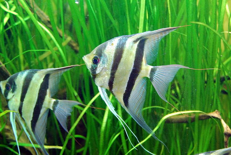 Best Semi Aggressive Freshwater Fish For A Tropical Aquarium Angel Fish Freshwater Fish Tropical Aquarium