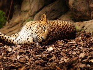 Un leopardo tumbado