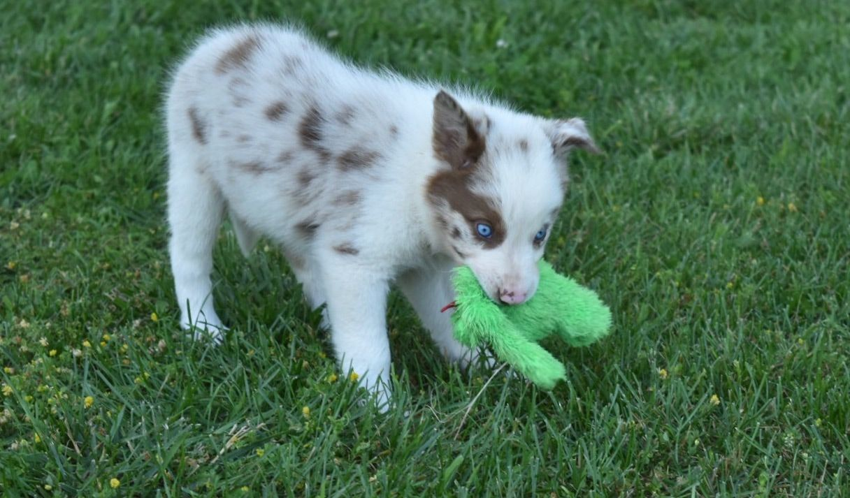 This red merle border collie puppy plays with her toy