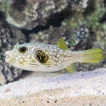 Stars Stripes Puffer Aquarium Fish Saltwater Aquarium Fish Marine Aquarium