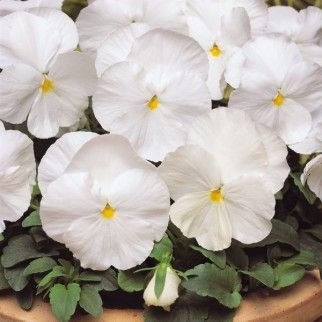 Pansy Matrix White 5 Plants Pansies Flowers Landscaping With Rocks Pansies