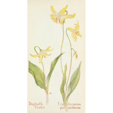 Posterazzi Western Wild Flowers 1915 Dogtooth Violet Canvas Art - M Armstrong (24 x 36)
