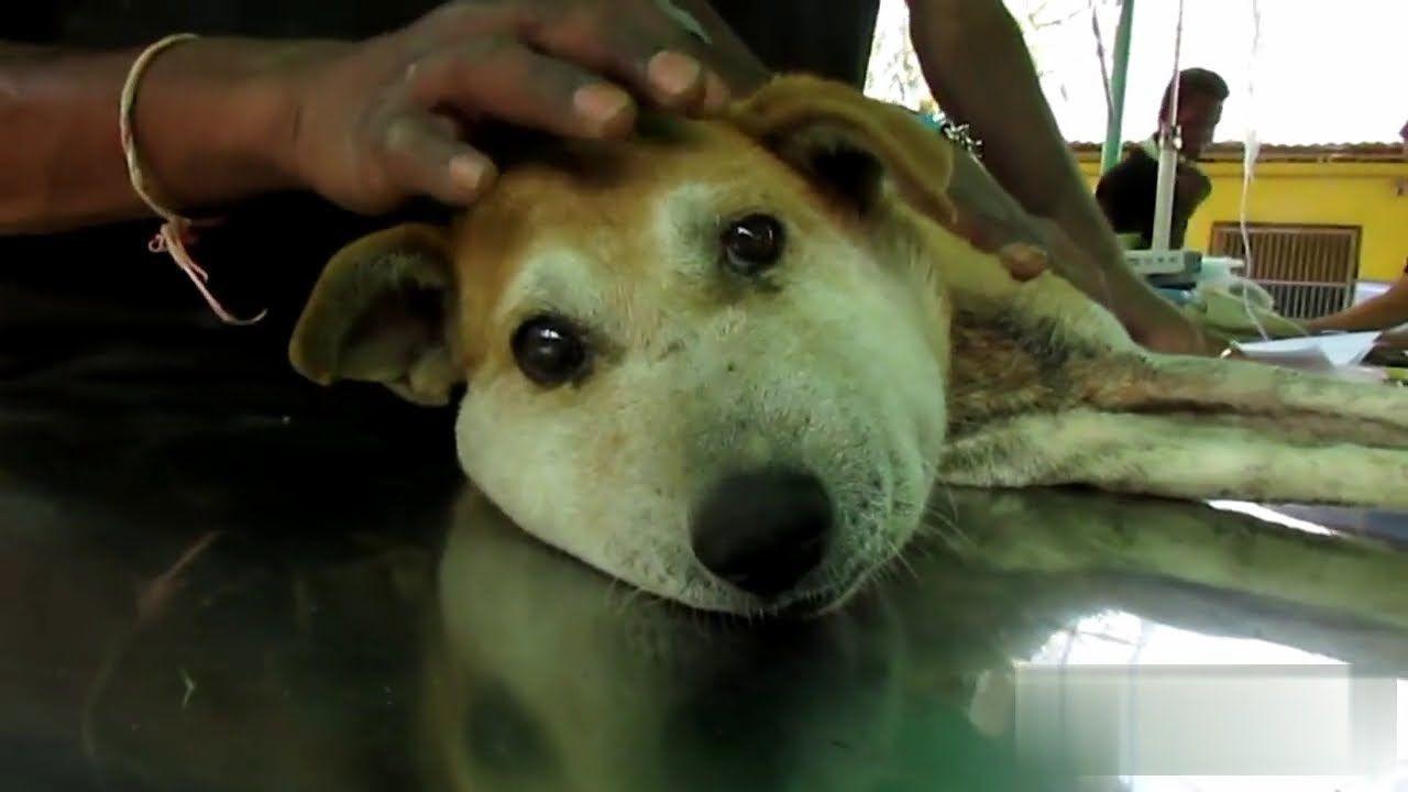 Cane Con La Testa Gonfia Il Perche E Sconvolgente Con Immagini Cani Animali Veterinari