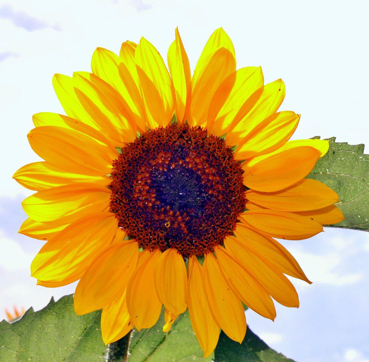 Yellow sunflower photo x print unique wall art shabby chic