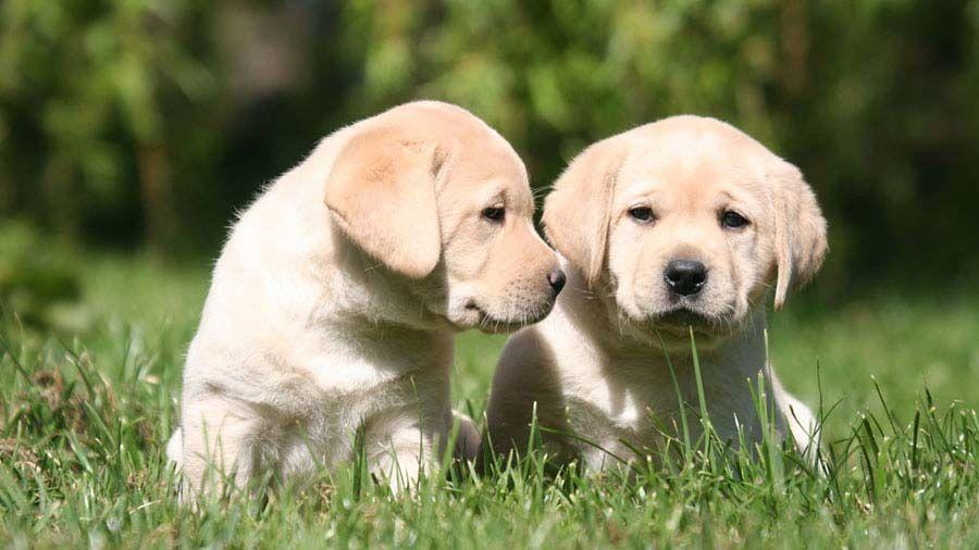 Labrador Retriever Price Temperament Life Span In 2020 Labrador Retriever Labrador Dog Yellow Labrador Retriever