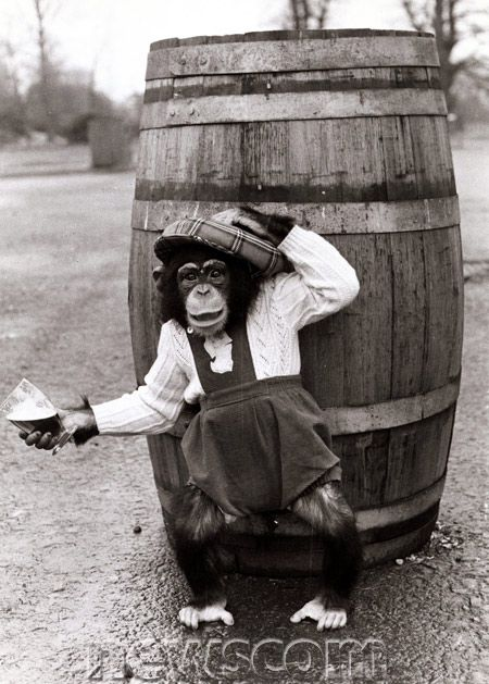 Fred the chimpanzee wearing clothes and tartan hat to open the eighth season of the Blair Drumond Safari Park by rolling out the barrel. May 1977. Mirrorpix/Newscom