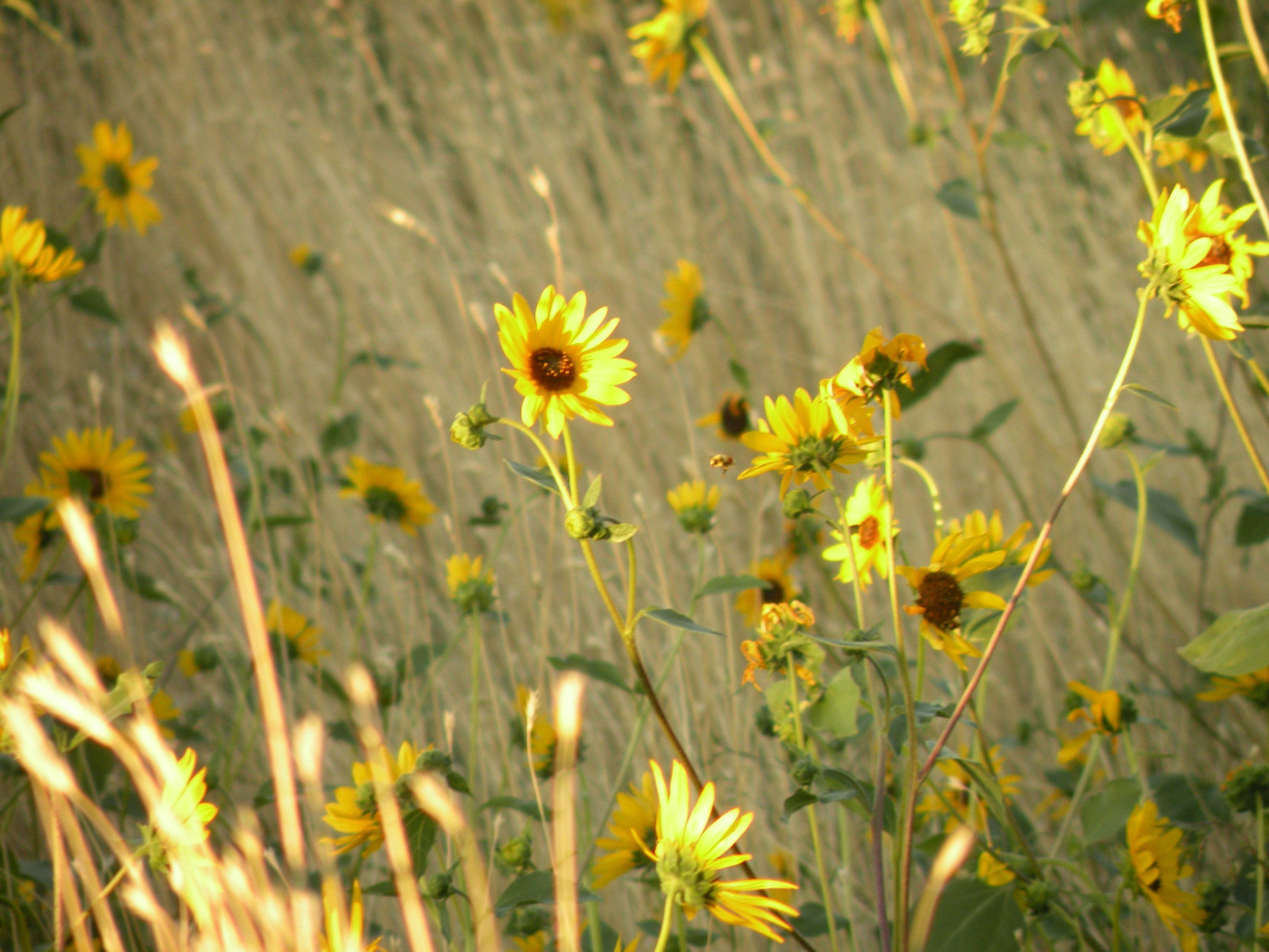 Sunflowers in Field Near Oquirrh Mountain Temple