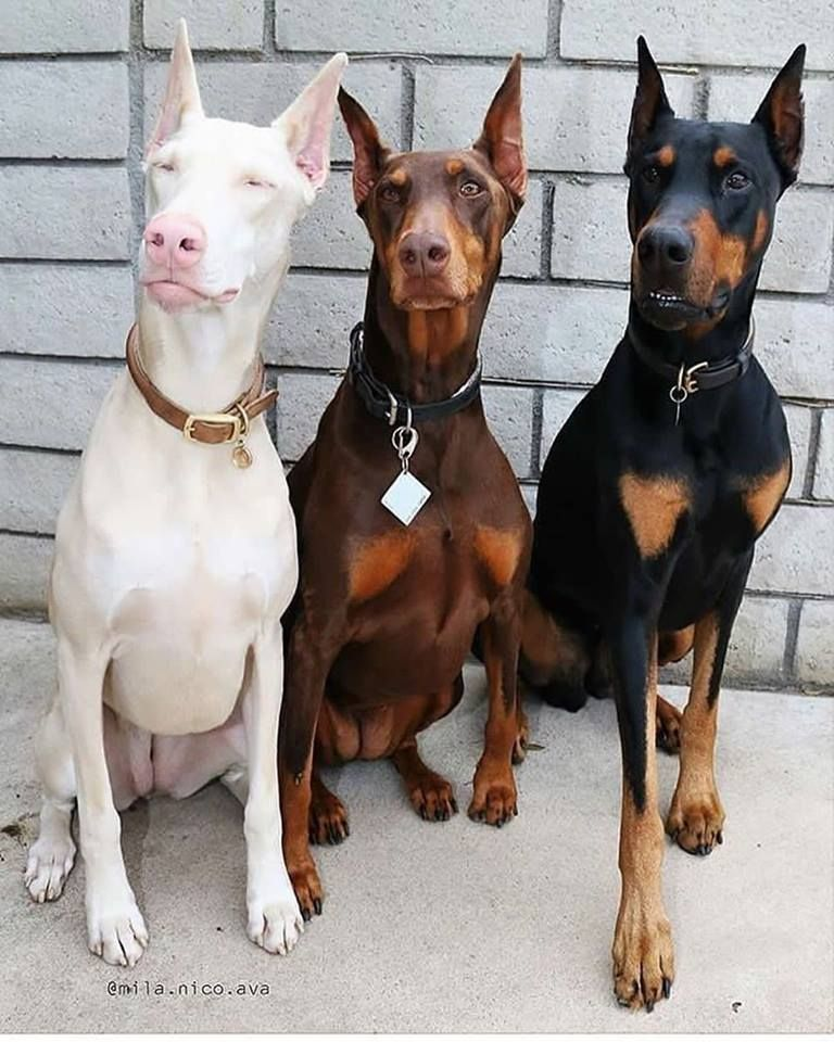Pin By Trino On Dogs Doberman Pinscher Dog Doberman