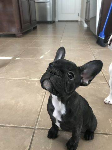 Litter Of 4 French Bulldog Puppies For Sale In Austin Tx Adn 44549 On Puppyfinder Com Gender Female Puppies For Sale French Bulldog French Bulldog Puppies