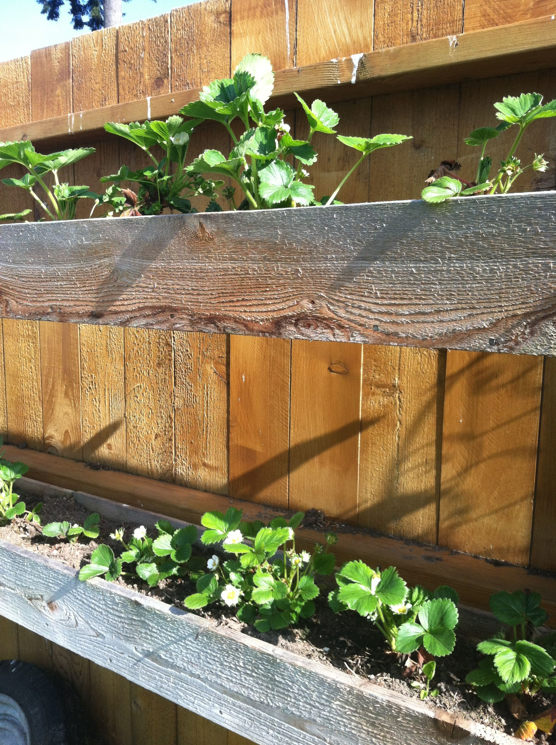 Strawberry Plants In Box Hanging Fence. Save