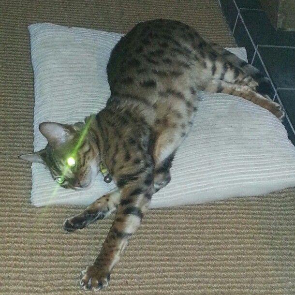 Laser eye bengal #mrben