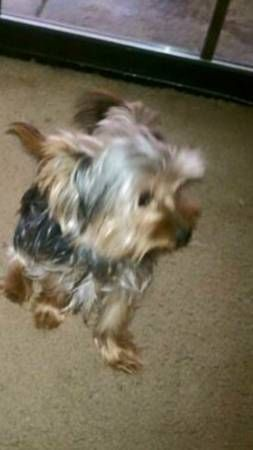 Lost Yorkie Newhall Missing Yorkie On Tuesday Feb 3rd Newhall Santa Clarita Valley Off Of Wyle Calgrove And Caner Losing A Dog Yorkie Police Canine