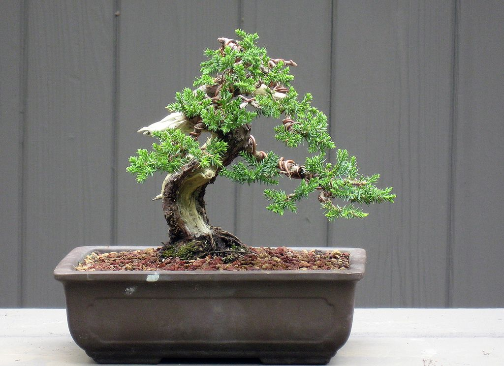 1000 images about juniper bonsai tree on pinterest juniper bonsai bonsai and bonsai trees bonsai tree for office