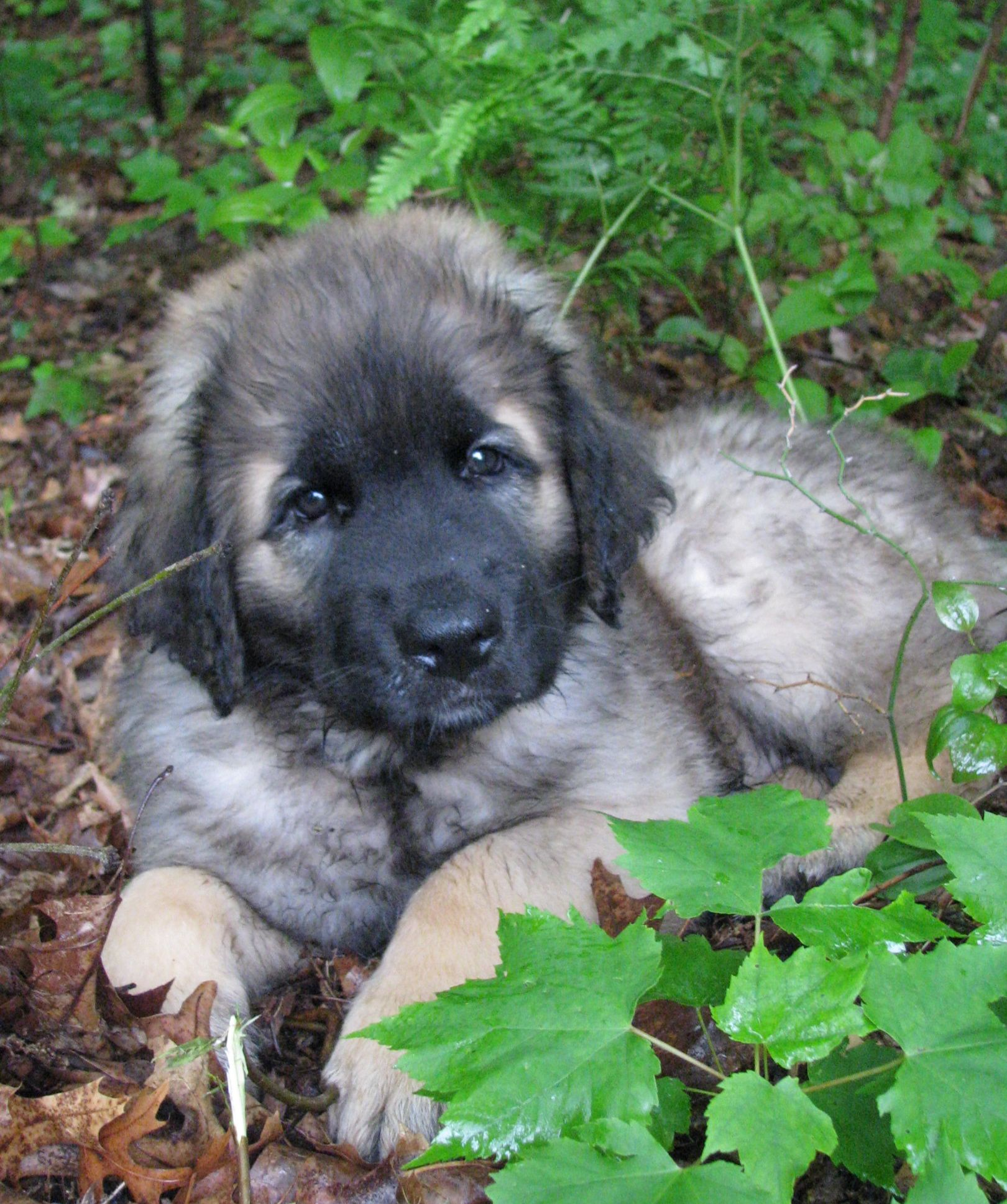 Leonberger | Dog breeds, Cute cats, dogs, Large dog breeds |Leonberger Dogs And Puppies