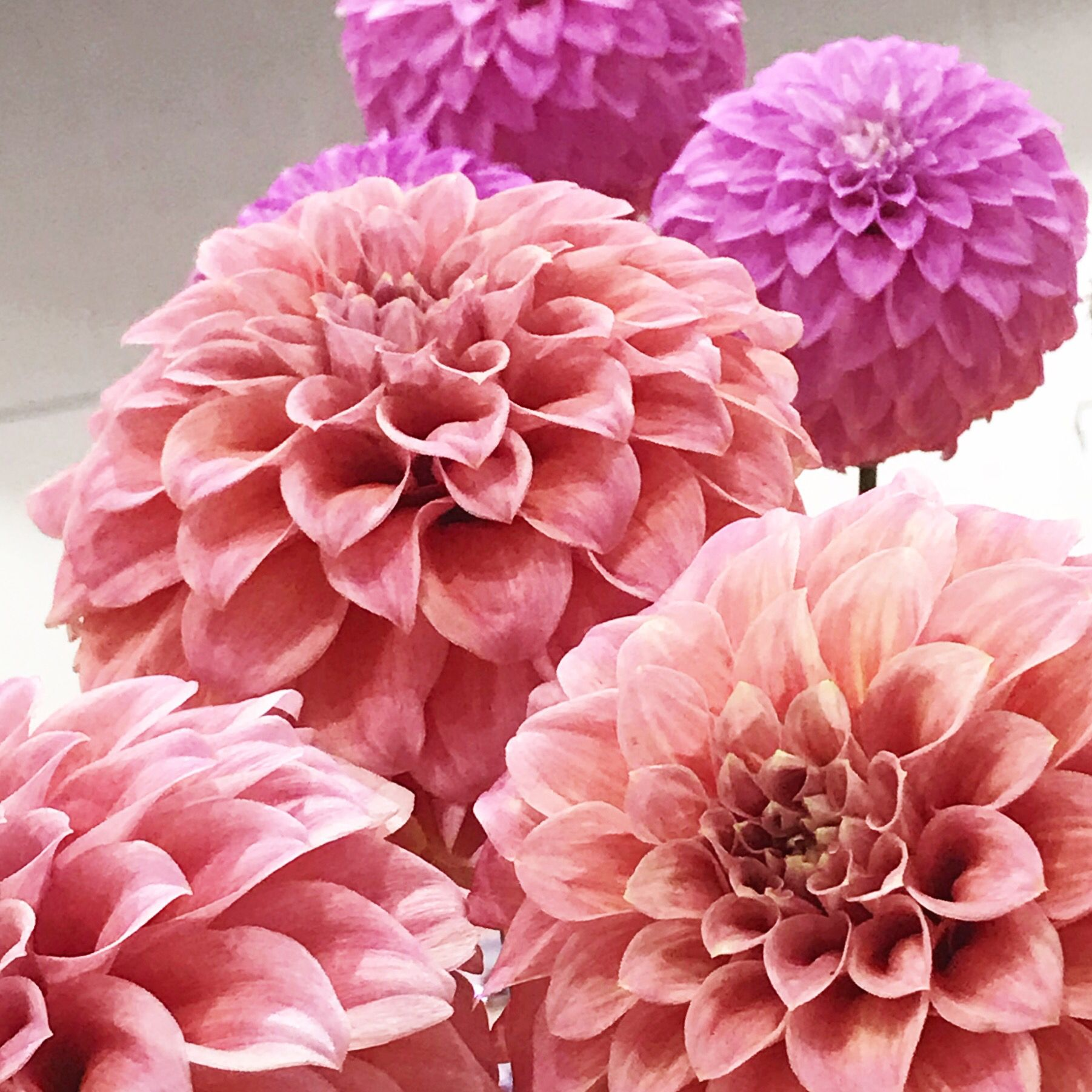 Dahlia Flowers In Shades Of Pink Flowers Shade Flowers Dahlia Flower