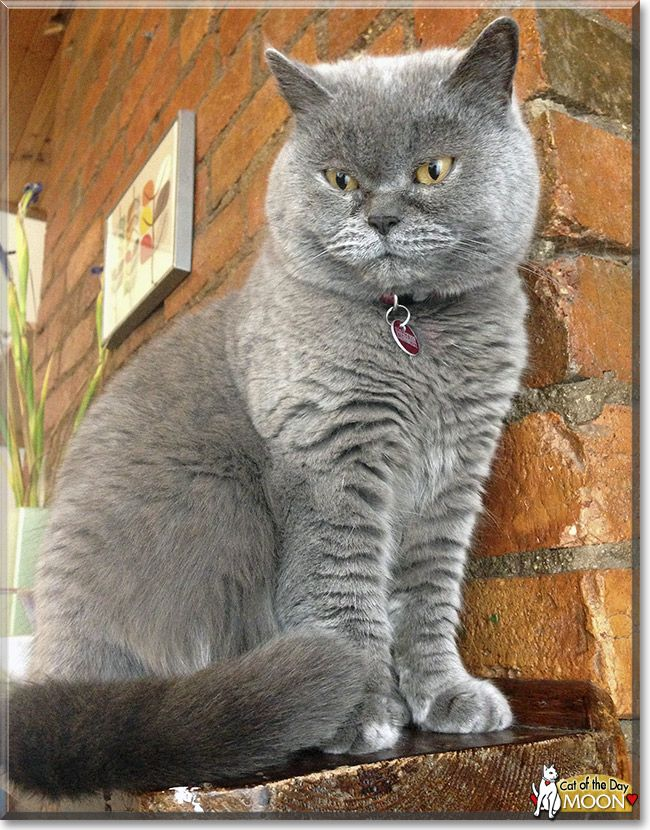 Moon The British Shorthair From Melbourne Victoria Australia Is Today S Cat Of The Day Read Moon S Story And See Her Photos A Cat Day Cat Colors I Love Cats